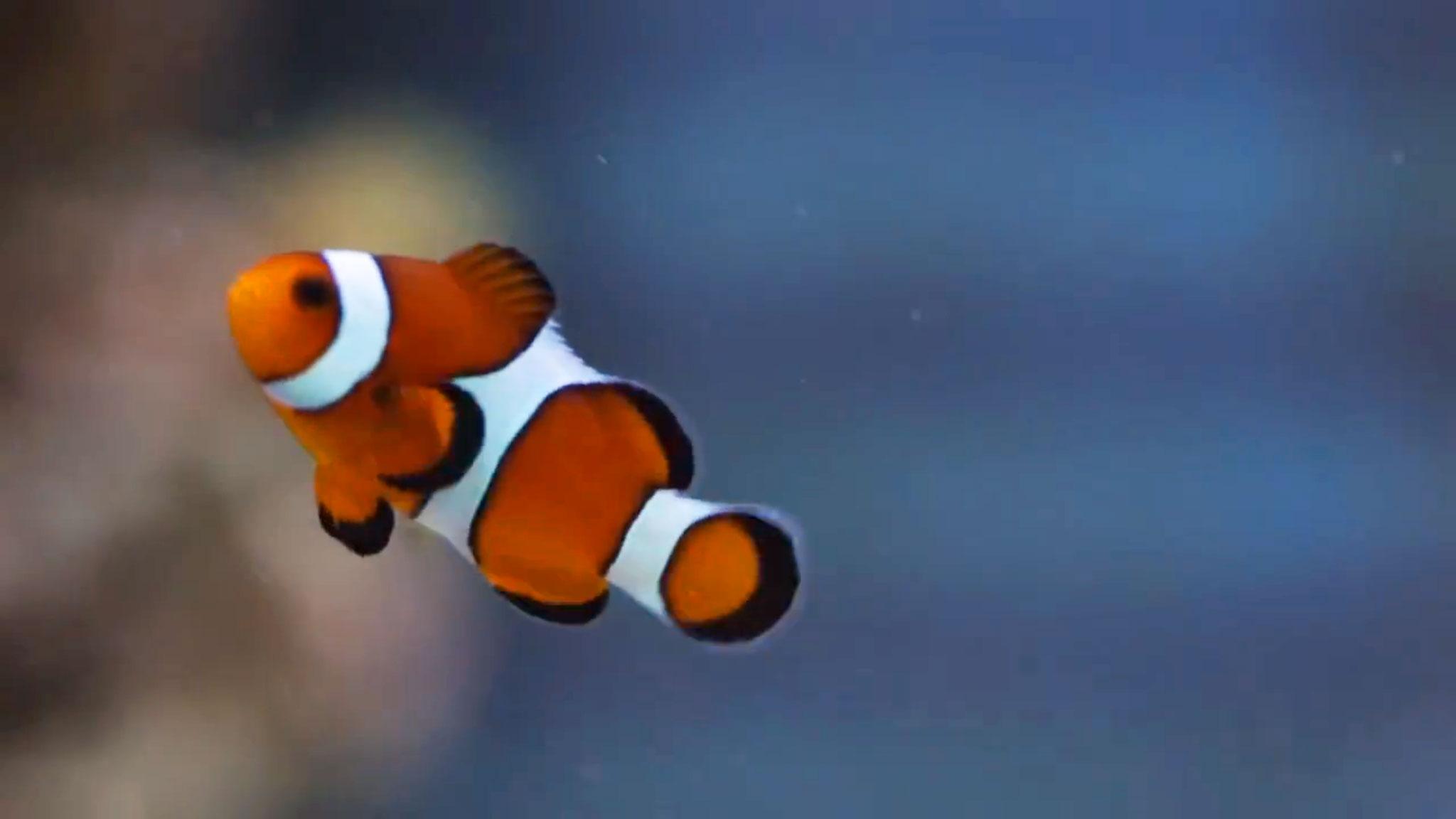 Clownfish made popular through the film 'Finding Nemo'