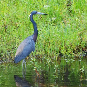Blue Heron at the waters edge in Shingle Creek Nature Reserve, Kissimmee
