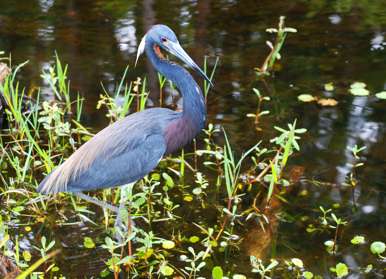 Great Blue Heron at Shingle Creek, Kissimmee