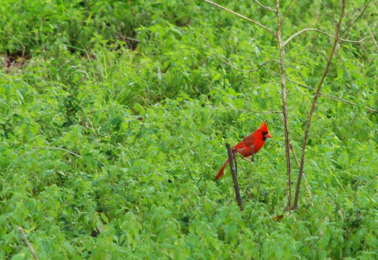 Northern Cardinal in Shingle Creek, Kissimmee