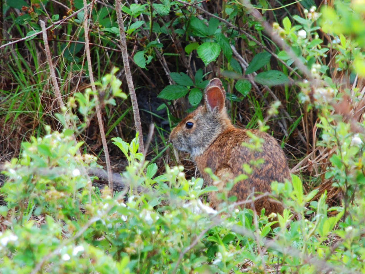 Rabbit in Shingle Creek, Kissimmee