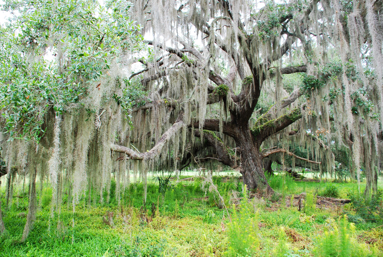 Trees covered in Spanish moss