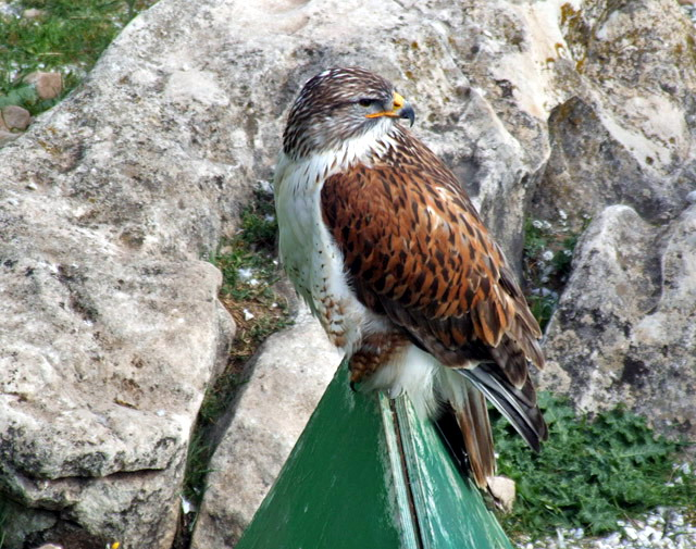 Several species of eagles can be seen at The Birds of Prey Observatory © Anne Sewell