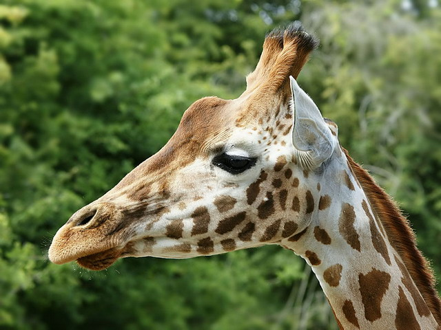 A close up of the giraffe showing the colourful markings on the head, photograph CC by Hans Hillewaert