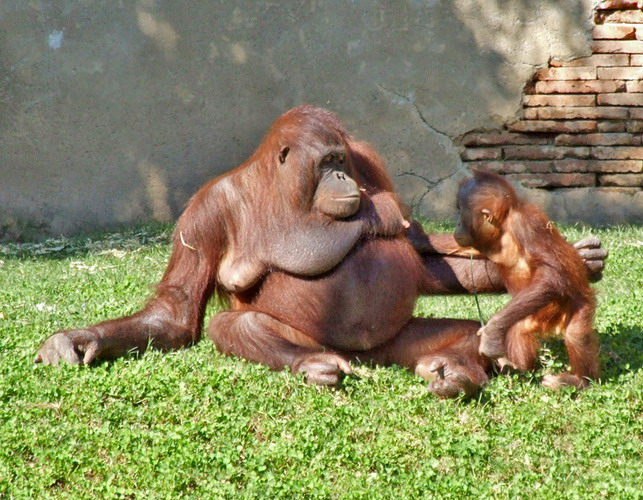 Orangutan mother and child in the Bioparc Fuengirola © Anne Sewell
