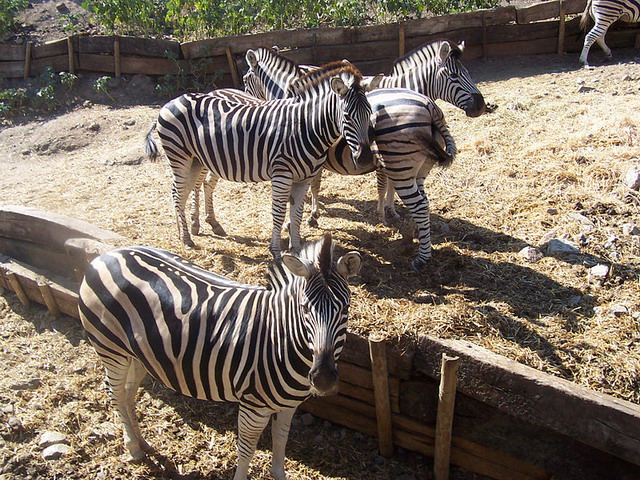 Zebras are one of the many safari mammals to see in Selwo Aventura Estepona